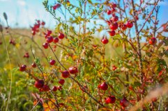 Badland Berries